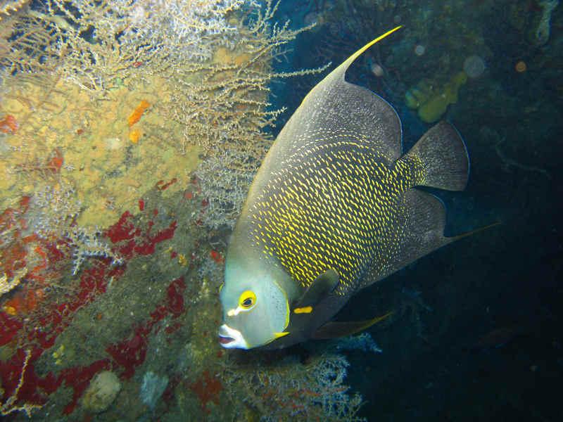 French Angelfish on the Daini Koyomaru Wreck